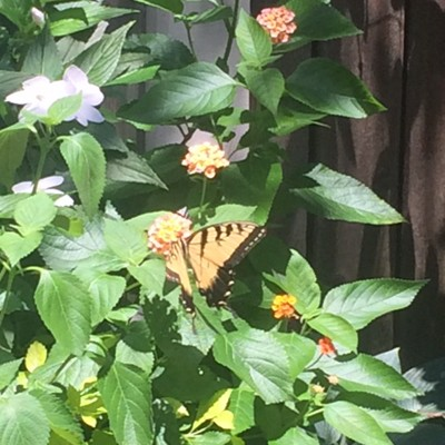 Lantana (with Monarch)