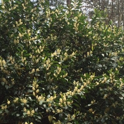 Cherry Laurel - in bloom