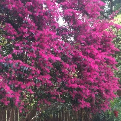 Tree Form Lorapetulam - (2) rampant blooms